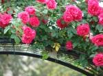 Kelleher Rose Garden3
