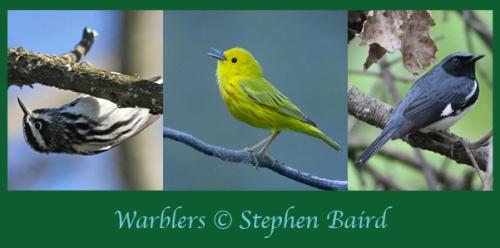 Warblers 3